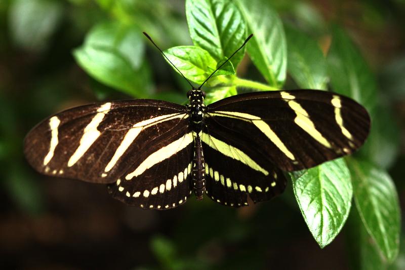 Heliconius-vlinder